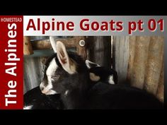The Alpines Homestead - Farming with Alpine Goats Part 1
