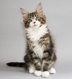 If I ever were to own a pure breed cat this would be it. A Maine Coon.
