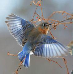 Eastern bluebird                                                       …