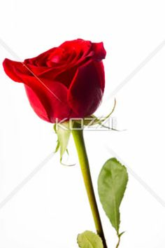 red rose standing upright - Red rose with stem standing upright on white background.