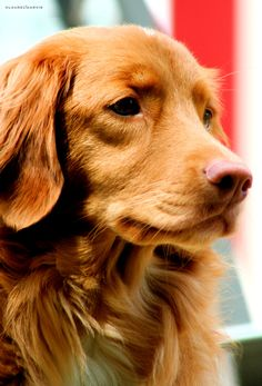 Nova Scotia Duck Tolling Retrievers are so gorgeous.