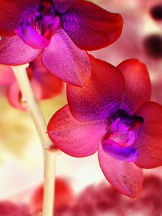 Image for Orchid Lights