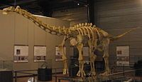 """Ampelosaurus (/ˌæmpɨlɵˈsɔrəs/ am-pi-lo-sawr-əs; meaning """"vine lizard"""") is a titanosaurian sauropod dinosaur hailing from the Late Cretaceous Period of what is now Europe. Recent media attention has made Ampelosaurus arguably one of the most famous dinosaurs known from France."""