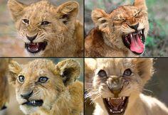http://www.vanishingtattoo.com/images/tattoo/lion-pics4.jpg