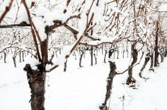 Our grapevines outdare the snow