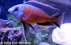 Cichlid Profiles - Red fin borleyi