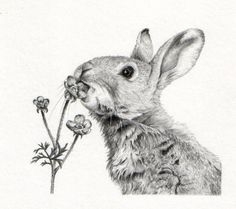 Gillian McMurray-Rabbit in graphite.