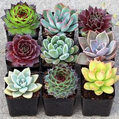 Rosette Collection (9) - Mountain Crest Gardens
