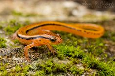 Blue Ridge Two-Lined Salamander (Eurycea wilderae)