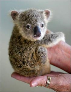 Look at this Baby Koala!!!! Too. Adorable. For. Words.