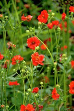 Geum chil.Chilehumleblom Chile, Garden, Flowers, Plants, Google, Composters, Garten, Chilis, Flora