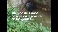 Almost killed gorilla baby in Zoo in United States 2016