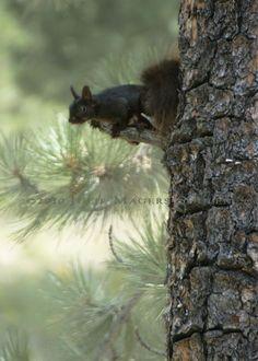 Colorado Black Squirrel Photo Art by JulieMagersSoulen