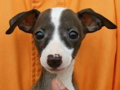 Adorable Italian greyhound .