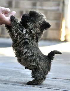 Cairn Terrier puppies are so cute!   Looks just like Charlie!  Cairns are adorable, but they do have an attitude!