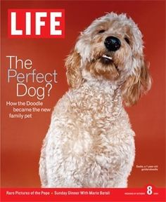 Goldendoodle on a 2004 cover of Life Magazine ~ The Perfect Dog? How the Doodle became the new family pet Chien Goldendoodle, Havanese Puppies, Goldendoodle Haircuts, Fluffy Puppies, I Love Dogs, Puppy Love, Cute Dogs, Cutest Puppy, Labradoodles