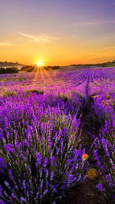 Lavender-World-iPhone-6-wallpaper.j