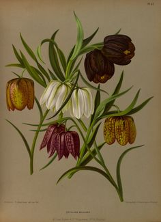 Leper's Lily - Fritillaria meleagris - circa 1881