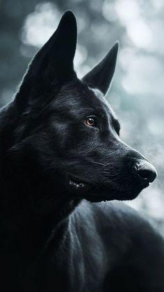 Black Shepherd, Black German Shepherd Dog, German Shepherd Training, German Shepherd Puppies, German Shepherds, Black Dogs Breeds, Dog Breeds, West Highland Terrier, Australian Shepherds