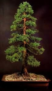 formal upright bonsai - a nice example. It is well placed in a suitable pot with good branch structure