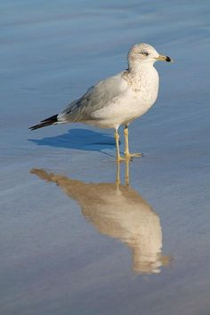 Seagull by Alicia Knust Shorebirds, Sea Fishing, Sea Birds, Gull, Beach Art, Bird Watching, Bird Art, Bird Feathers, Beautiful Birds