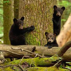 Travel to Cades Cove to see the outdoors in East Tennessee and you may see some bears while hiking.