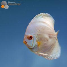 Albino Blue Diamond Discus #discus #diskus #aquarium #symphysodon #tropicalfish #discusfarm #discusfish #fish #discusbreeding  #fishfarm #fishtank #fishkeeper #freshwater #discushatchery #freshwaterfish #ディスカス #アクアリウム #魚 #水槽 #熱帯魚 #tropical #breeding #breedingfarm #cichlids #cichliden #cichlid #七彩神仙 #süßwasserfische #süßwasserfisch
