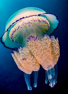 "Barrely Jellyfish (rhizostoma pulmo) ~ by ayustar ~ Mik's Pics ""Sea Life lll"" board"