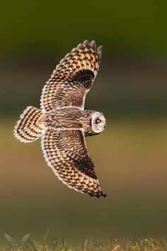 Short-Eared Owl by  Frank Schauf