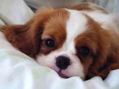 The Cutest Things On The Web! • Can I ask for Cavalier king ... #CavalierKingCharlesSpanielPuppy