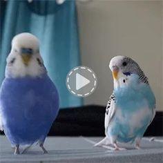Beautiful Animated Gif Birds Kissinglovebirdsgif Pretty