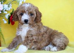 Listing Puppy for Sale Cute Puppies For Sale, Cockapoo Puppies For Sale, Cute Dogs, Tumeric For Dogs, Cute Dog Wallpaper, Mount Joy, Popular Dog Breeds, Gender Female, Cute Animals