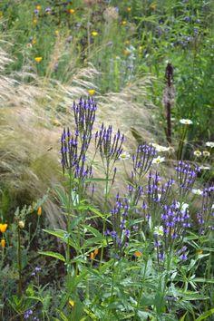 Verbena hastata: full sun, moist but well drained soil, ph any, flowers summer-autumn