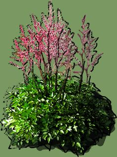 Astilbe simplicifolia hybrid Hennie Graafland Puzzle, Astilbe, Plants, See Through, Puzzles, Riddles, Planters, Jigsaw Puzzles, Plant