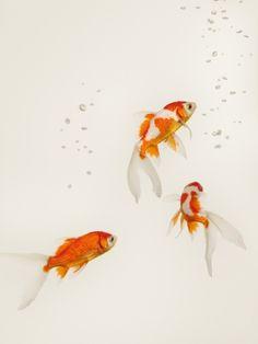 Goldfish Bowls Animals TREBLE CANVAS WALL ART Picture Print VA