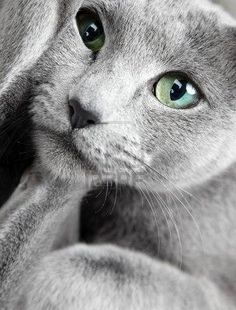 I had a russian blue cat, she was the most beautiful, independent and dignified cat, very spoiled.... My Fina Girl