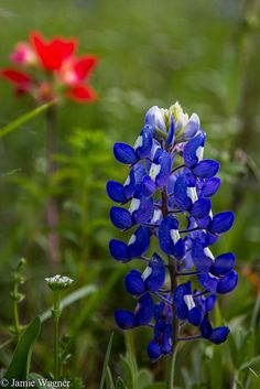 Texas Bluebonnet - ©Jamie Wagner - All Rights Reserved - Flickr - Photo Sharing!