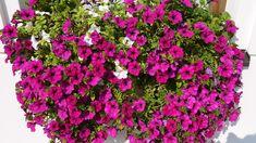 10 PLANTAS RESISTENTES AL SOL - Con Nombres y Fotografías Garden Seeds, Planting Seeds, Garden Pots, Clusia, Echeveria, Petunia Flower, Agave, Flower Seeds, Garden Supplies