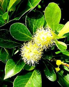 Scolopia Zeyheri                   Thorn Pear          Doringpeer              7-10 m   (23)          S A no  498            Plants In Stock South Africa