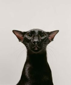 Black Cat - Oriental Shorthair Unusual point of view distorts face! Pretty Cats, Beautiful Cats, Animals Beautiful, Siamese Cats, Cats And Kittens, Black Siamese Cat, Cats Bus, Ragdoll Kittens, Tabby Cats