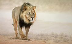 KALAHARI LION  | Fouche Studios