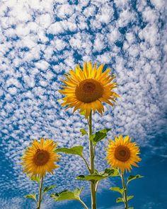 50 Travel 50 Nature sunflowers