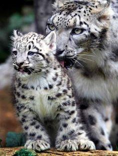 Doce países se comprometen a proteger el leopardo de las nieves | 20minutos.es