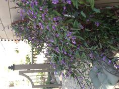 Hardenbergia  violacea 'Happy Wanderer' - hardy, evergreen, climbing vine that blooms in winter to early spring with fragrant, purple flowers, drought tolerant, fast growing
