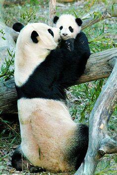 Mama panda with baby panda
