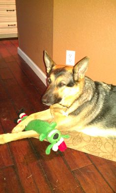 """Millie's Christmas present came early when she sniffed out her new toy!  Hopefully, she won't be on Santa's """"naughty"""" list very long.  Dec. 20, 2013"""