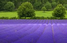 5,000 TRUE ENGLISH LAVENDER VERA Lavender Augustifolia Vera Herb Flower Seeds Seedville http://www.amazon.com/dp/B01789HIS2/ref=cm_sw_r_pi_dp_s8Vdxb1YVTTEM  10 each