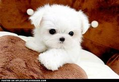 Kelly, you could get this one and name her Marshmallow :)