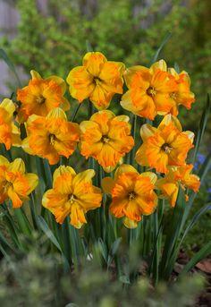 Prawdziwy narcyz pośród kwiatów :) Na zdjęciu: Narcissus split-corona. Narcyzy, Żonkile.