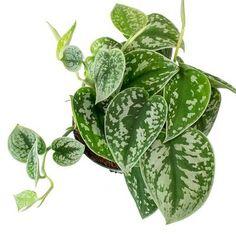 Epipremnum pictum Argyraeus - Satin Pothos - 15 x Green Leaves, Plant Leaves, Indoor Plant Pots, Indoor Plants Names, Outdoor Plants, Pothos Plant, Tall Planters, Small Plants, Tropical Plants